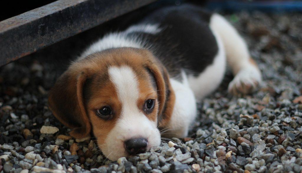 Kleiner Hund, liegt im Garten